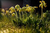 picture of cowslip  - Bright yellow Cowslip flowers standing in a line with drooping flowers - JPG