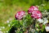stock photo of angiosperms  - Dianthus in garden landscape at spring time - JPG