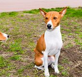 foto of larynx  - Basenji seats on the grass in the park - JPG