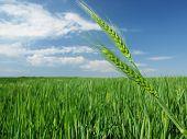 picture of nubian  - green wheat field    - JPG