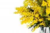 stock photo of mimosa  - Mimosa brunches in vase on white background - JPG