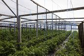 stock photo of tomato plant  - tomato and cucumber plants in a greenhouse - JPG