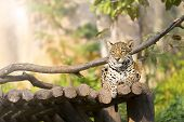 image of tigress  - Tiger leopard on wood resting in the zoo - JPG