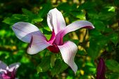foto of magnolia  - beauty natural pink magnolia flower closeup background macro  - JPG
