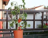 picture of tomato plant  - Tomato Plant on the terrace of a house in the city - JPG