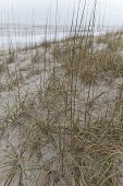 picture of monocots  - Close up of native beach grass growing on sand dunes with the sea in the background helps to prevent the shore from erosion by ocean tides - JPG