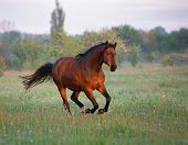 image of galloping horse  - brown horse galloping forward in the summer morning - JPG