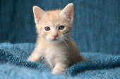 stock photo of blue tabby  - Cute orange tabby kitten - JPG