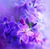 picture of violet flower  - Lilac flowers bunch white art design background - JPG