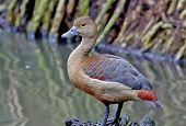 picture of jungle birds  - Lesser whistling duck Dendrocygna javanica Birds of Thailand - JPG