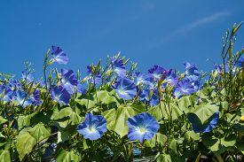 image of ipomoea  - blue ipomoea in garden close up shot - JPG