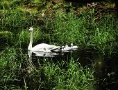 foto of trumpeter swan  - A trumpeter swan with four young swans or cygnets swimming - JPG