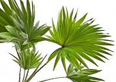 image of australie  - Livistona Rotundifolia palm tree isolated on white - JPG