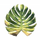 Giant Monstera Dried Leaf Tropical Plant Isolated On White Background With Clipping Path. (giant Mex poster