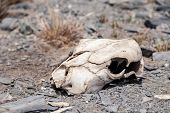 Closeup Skull, Head Of Dead Cattle With Teeths, Horse Or Cow In Steppe Field. Concept Drought, Death poster