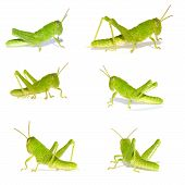 picture of cricket insect  - The Green Cricket Insect  - JPG