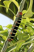 stock photo of hornworms  - Tetrio Sphinx Caterpillar native to Antigua Barbuda in the Caribbean Lesser Antilles West Indies eating a leaf on a frangipani tree - JPG