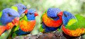 stock photo of lorikeets  - Australian rainbow lorikeets - JPG