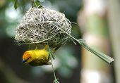 stock photo of bird-nest  - little bird hanging from a nest - JPG