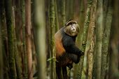 Wild And Very Rare Golden Monkey In The Bamboo Forest. Unique And Endangered Animal Close Up In Natu poster