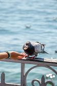 Vertical Photo Of Woman Hand Feeding Pigeon. Blurred Water In The Background. Feeding Pigeons, Birds poster