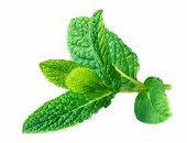 Mint Isolated. Peppermint Leaf On A White   Background.  Macro poster
