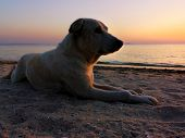 Stray Dog Lay Down On Sand At The Beach In Sunset Time. Feelings Lonely. poster