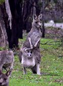 Mother Kangaroo With A Joey In Her Pouch In The Bush poster