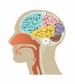 foto of temporal lobe  - Images of the human head within the skull and brain - JPG