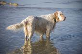 stock photo of english setter  - english setter on sand beach coast in Poland - JPG