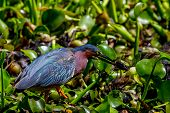 pic of crawfish  - A Perfect Shot of a Small Heron - JPG