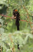 picture of mesquite  - Long Tailed black bird sitting in a mesquite tree - JPG