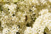 Постер, плакат: Пчела на белые цветки