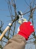 Gardener pruning apple tree branches with pruners