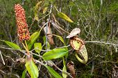 Flowering Pitcher Plant