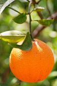 foto of orange-tree  - orange on tree - JPG