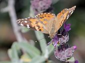 Painted Lady Butterfly Getting Nectar
