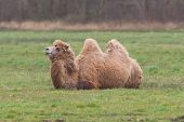 stock photo of hump  - Two-humped camel is resting on the green grass