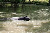 pic of tapir  - The Malayan tapir swimming in the water - JPG