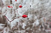 Rosehip Branches Covered With Hoarfrost