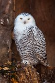 foto of hedwig  - White owl sitting on stump in zoo - JPG