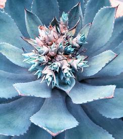 stock photo of century plant  - Macro of succulent plant in the desert - JPG
