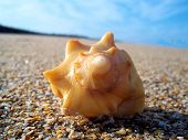 picture of conch  - A lone conch shell on beach - JPG