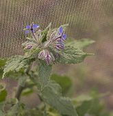 foto of borage  - Organic Gardening Borage Flowering in spring with blooms of blue flowers - JPG