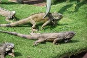 stock photo of guayaquil  - Iguanas enjoying the summer weather at a park in Guayaquil - JPG