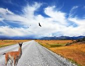 stock photo of pampa  - Above the dirt road on the pampa Andean condor soars - JPG