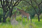 picture of terrestrial animal  - The giraffe is an African even - JPG
