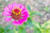 foto of zinnias  - Pink zinnia blossom at top left closeup - JPG