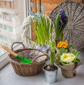 picture of primrose  - Spring primroses hyacinths and primroses near the basket and a shovel on the window - JPG