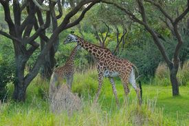 image of terrestrial animal  - The giraffe is an African even - JPG